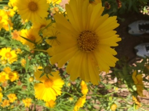 Coreopsis At My Feet