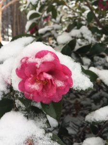 Camellias survive the storm